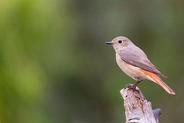 Common Redstart sur Babs Boelens