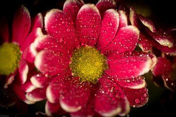 Chrysantheme im Tau von Arjen Uijttenboogaart