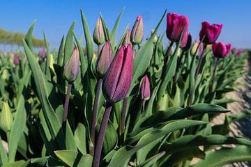 paarse tulpen in een veld van Angelique Rademakers