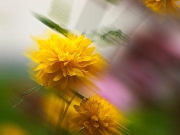 Ranunkelstrauch-Kerria japonica Pleniflora von Pa. Wowitto