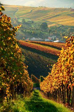Weinberge im Sonnenuntergang, Herbstfarben im goldenen Oktober