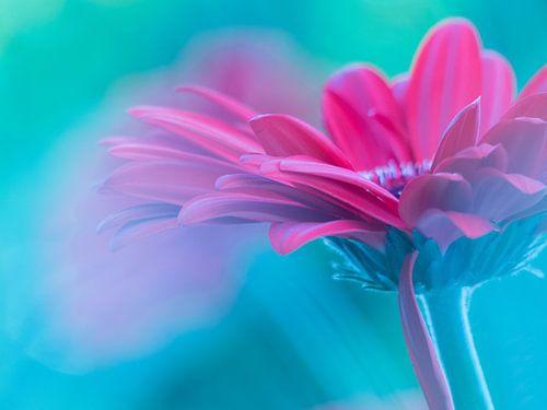 Gerbera Flowerpower