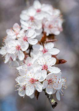 Blüte von José Lanzas