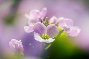 Pinksterbloemen  van