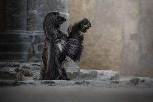 Afghanischer Hund High Five