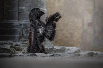 Afghanischer Hund High Five von Nuelle Flipse