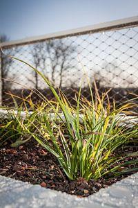 Gras van