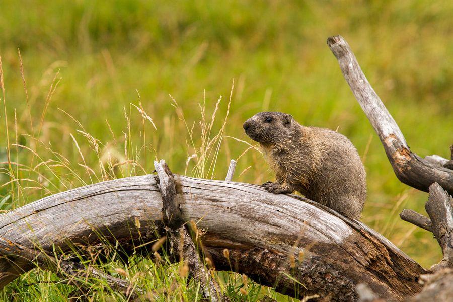 Marmot op de uitkijk in de Pyreneeën van Paul Wendels