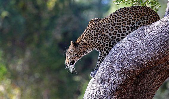 Leopard ready to jump - Africa wildlife van W. Woyke