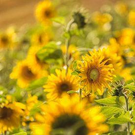 Zonnebloemen sur John Kreukniet