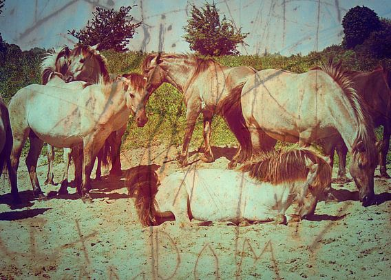 Konik Paarden in De Blauwe Kamer
