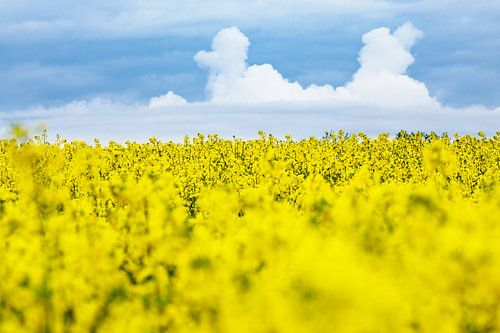 Canola field with clouds in the sky