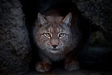 Lynx est un gros chat assis par terre et qui, ironiquement, vous regarde droit dans les yeux. En gro sur Michael Semenov