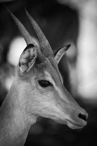 Impala van Ed Dorrestein