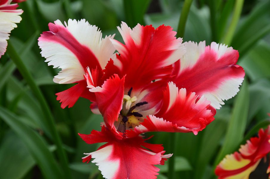 Tulipa in red with a twist