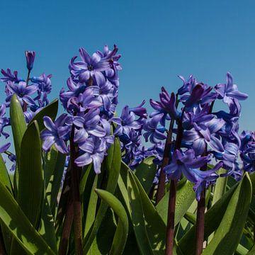 Hyacint sur Wim de Lange