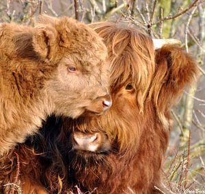 Schotse hooglander met jong