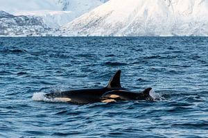 Orca mit Jungen