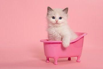Niedliche ragdoll Kätzchen sitzt in einem rosa Bad von Elles Rijsdijk
