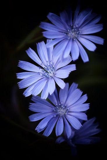 Wilde Cichorei - Cichorium intybus