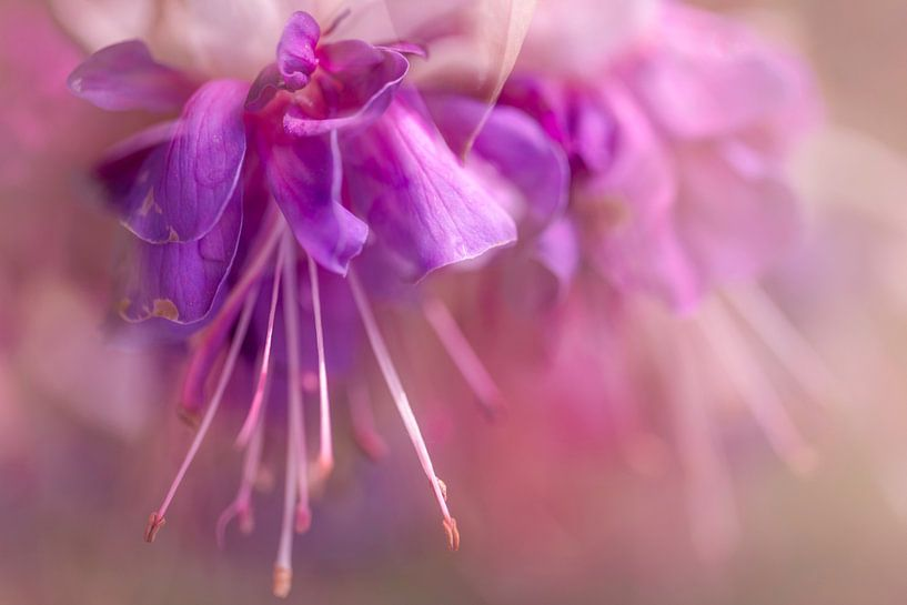 Pink and purple flower van Dennisart Fotografie