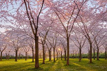 Fleurs de cerisier sur Harro Jansz
