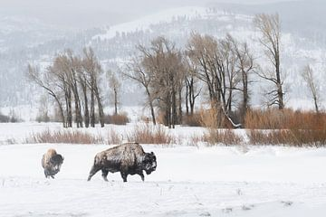 American Bisons ( Bison bison ) in typical surrounding,walking through a snowy landscape, Lamar Vall van wunderbare Erde
