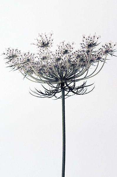 Fleurs de carotte van Martine Affre Eisenlohr