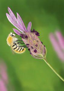 Bij op lavendel van