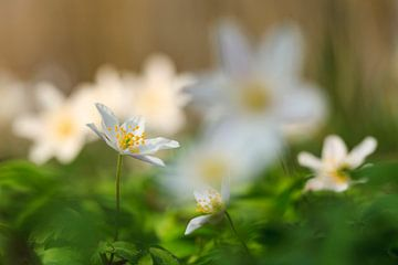 Bosanemonen in bloei van