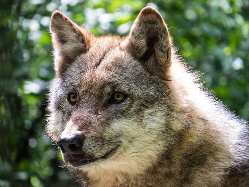 Der Wolf von