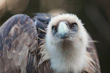Bird of Prey van Vincent van den Hurk