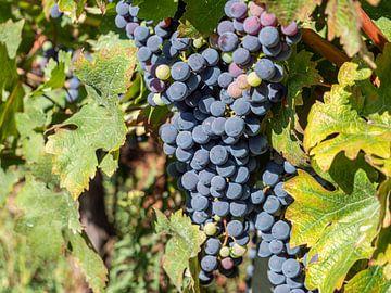 Frisse blauwe wijn in de herfst van Animaflora PicsStock