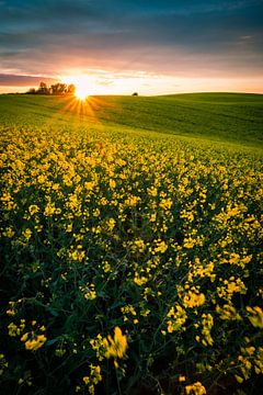 Rapsfeld im Sonnenuntergang von Martin Wasilewski