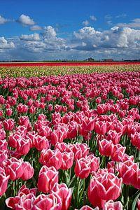 Tulpen Goeree-Overflakkee van Steven Blahowetz