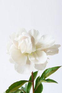 Pivoine blanche sur fond blanc sur Marion Moerland