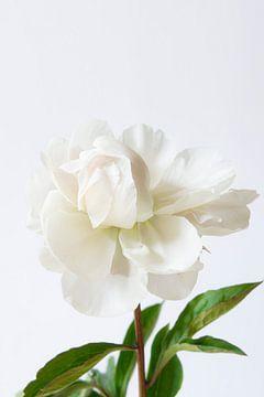 Witte pioenroos op witte achtergrond van Marion Moerland