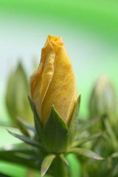 Gelbe Hibiscus von Lisette Tegelberg - Zegwaard