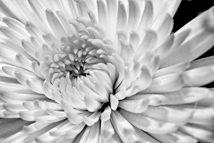 Witte Dhalia van Joost Lagerweij