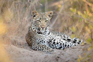Een oplettend jong luipaard van Jos van Bommel