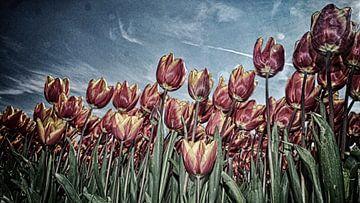 Tulpenveld in de polder van Rob Kuijper