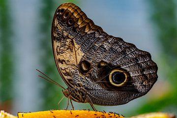 Schmetterling auf Orange von Dokra Fotografie