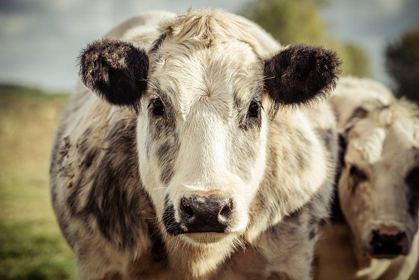 Grey and white dairy cow van Urban Photo Lab