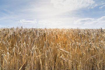 Panorama van een veld met koren in zonnestralen in de oogsttijd van Leoniek van der Vliet