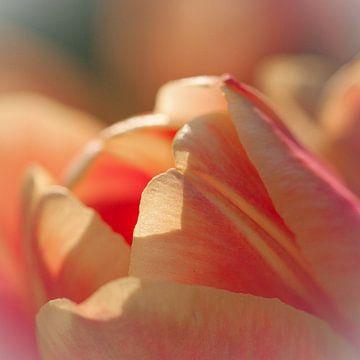 Tulp in avondlicht sur Bianca Muntinga