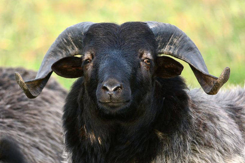 The Boss of the Sheep van Gisela Scheffbuch