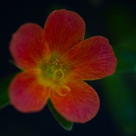 Rode bloem van MSP Canvas