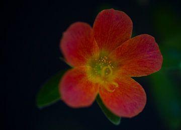 Rote Blume von MSP Canvas