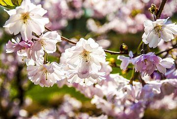Kirschblüte von Norbert Sülzner