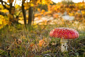 Close up paddenstoel (vliegenzwam) in het najaarszonnetje van Natascha Teubl